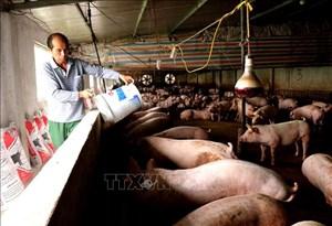 Đẩy mạnh tái đàn lợn an toàn để bù đắp thiếu hụt nguồn cung