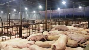 3.750 con lợn dương tính với thuốc an thần