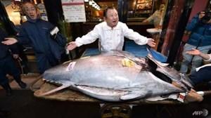 Đấu giá con cá ngừ vây xanh nặng gần 3 tạ