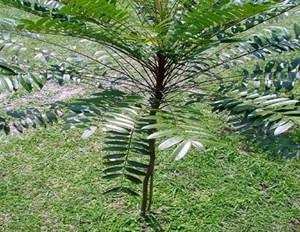 Những phát hiện thú vị từ cây Bá bệnh