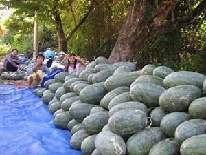 Quảng Nam (Phú Ninh): Thêm một năm thành công của sản xuất nông nghiệp