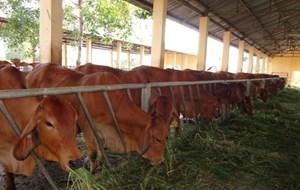 Hiệu quả từ nuôi bò vỗ béo
