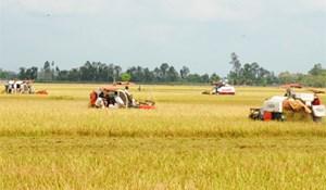 Sản xuất lúa theo mô hình cánh đồng lớn