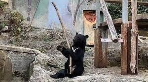 [VIDEO] Bật cười với màn luyện võ của gấu đen