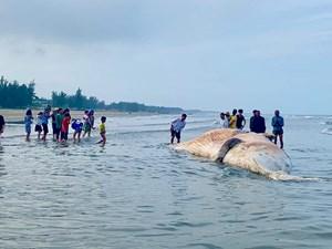 Cá Ông 'khủng' 10 tấn dạt vào bờ biển Hà Tĩnh