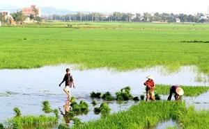 Phú Yên: Nông dân xuống đồng chăm sóc lúa sau Tết