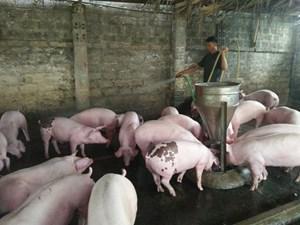 Vĩnh Long: Tổng đàn lợn trên địa bàn còn gần 200.000 con