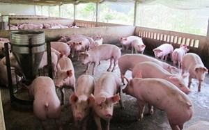 Thanh Hóa: Không được hỗ trợ thiệt hại nếu tái đàn lợn không xin phép