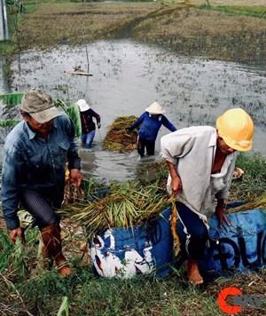 Nông dân Hà Tĩnh gặt lúa 'chạy đua' với bão số 4