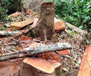 Quảng Bình: Phát hiện thêm một vụ phá rừng lim ở Trường Sơn