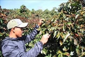 Lâm Đồng: Sương muối, hàng trăm hec ta cà phê hư hại