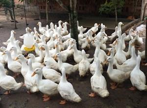 Bến Tre: Chủ động phòng, chống dịch bệnh trên đàn vật nuôi