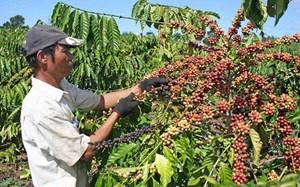 Bà Rịa - Vũng Tàu: Diện tích và năng suất cà phê đều giảm