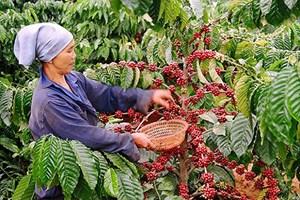 Kon Tum: Khó tìm nhân lực vụ thu hái cà phê