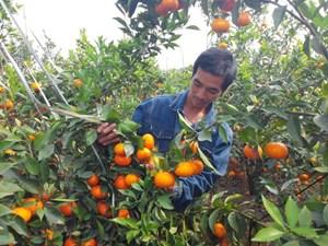Bắc Giang: Khẳng định thương hiệu vùng trái cây an toàn