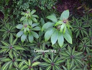 Bảo tồn cây dược liệu quý hiếm Bảy lá một hoa