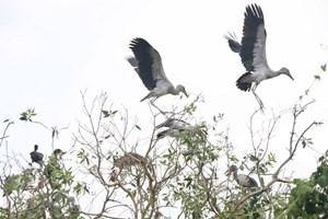 Bảo tồn đàn cò nhạn quý hiếm tại rừng tràm Gáo Giồng