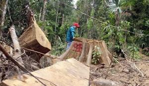 Bắt nhóm đối tượng chặt hạ gần 20ha rừng