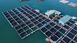 [VIDEO] Chuyện lạ tại Quảng Ninh: Cá song