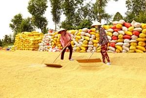 Xuất khẩu gạo: Không để vụ chồng vụ