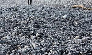 Bờ biển New Zealand phủ kín xác sứa chết hàng loạt