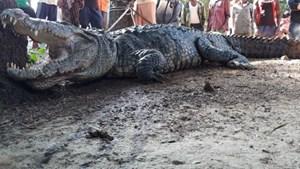 Cá sấu khổng lồ lẻn vào nhà