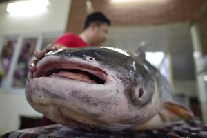 Cá trên dòng Mekong