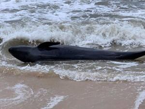 Thừa Thiên - Huế: Dân đưa cá heo mắc cạn về với biển