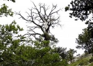 Cây thông cổ thụ hơn 1.200 năm tuổi vẫn tiếp tục 'lớn'