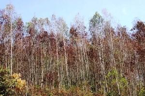 Quảng Ngãi: Hàng trăm ha rừng 'chết đứng' vì nắng nóng