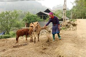 Lào Cai: Chủ động phòng chống rét cho trâu, bò