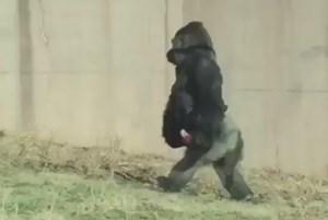 Con khỉ đột thích đi bằng hai chân như người vì sợ bẩn tay