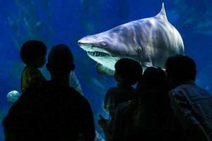 Con người và cá mập có cùng tổ tiên?