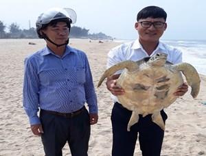 Thừa Thiên – Huế: Thả cá thể rùa quý hiếm về biển