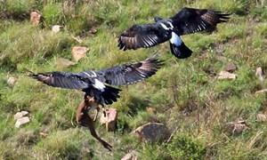 Đại bàng đen châu Phi tấn công linh dương non ở Nam Phi.