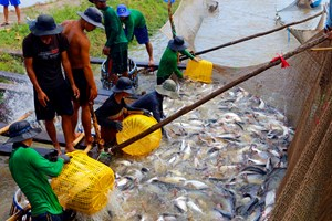 Cá nằm ao, người nuôi  và doanh nghiệp đều khó