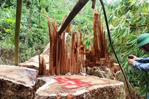 Để rừng bị phá, Hạt trưởng Kiểm lâm Nam Sông Bung bị cách chức