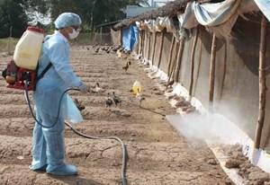 Khẩn trương vào cuộc dập dịch cúm gia cầm