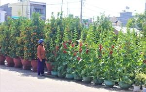 Quảng Nam: Hoa Tết tràn ngập, khách mua vắng vẻ