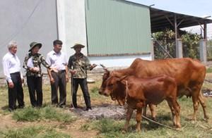 Phú Yên:Hỗ trợ bò giống cho hộ nghèo huyện Sông Hinh