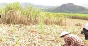 Thừa Thiên-Huế: Hơn 1.000 hecta sắn bị nhiễm bệnh khảm lá, nông dân điêu đứng