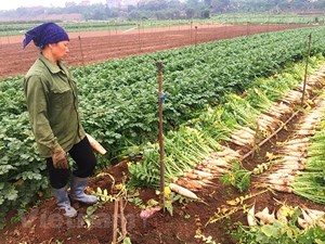 Hà Nội: 'Giải cứu' hơn 1.000 tấn củ cải trắng ế ẩm trong 5 ngày tới