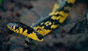 Hãi hùng hàng ngàn con rắn lao vào nhà dân ở Thái Lan