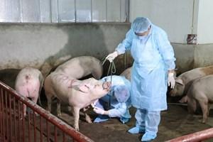 Cam Lâm(Khánh Hòa): Công bố dịch tả lợn châu Phi