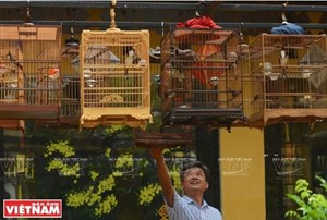 Huế: Rộn rã tiếng chim chào mào líu lo trong Thành nội