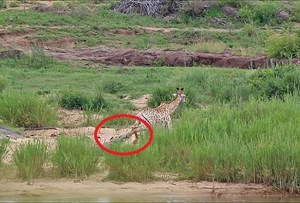 Hươu cao cổ bị cá sấu ngoạm gãy chân làm mồi cho sư tử