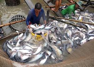 Giá lúa và giá cá tra tăng