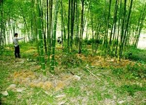 Khôi phục rừng luồng ở Thanh Hóa: Giúp người dân miền núi giảm nghèo