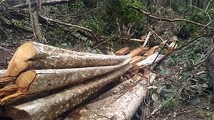 Khởi tố, bắt tạm giam 3 đối tượng khai thác gỗ trái phép