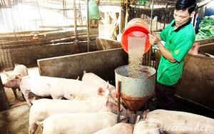 Không tăng đàn ồ ạt khi giá lợn hơi đang tăng cao